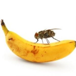 fruit fly and drain fly removal